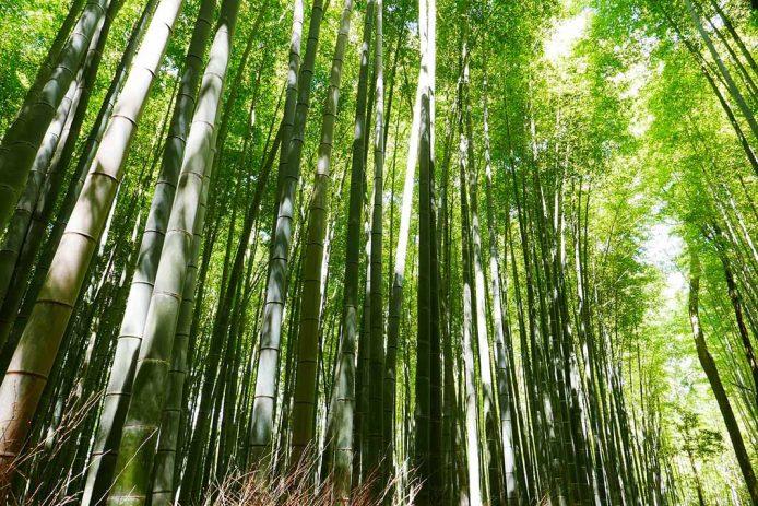 Visita el bosque de bambú
