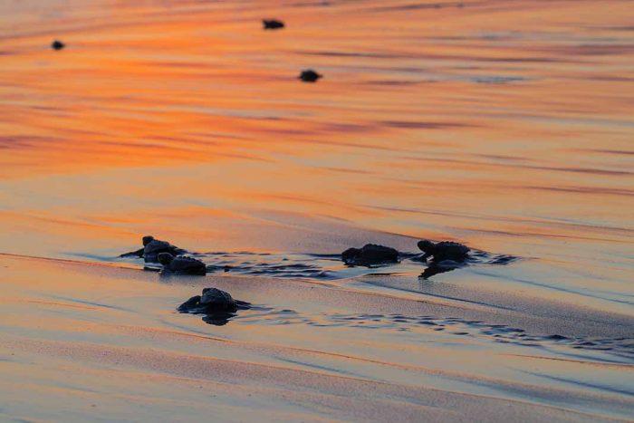Qué hacer en Acapulco: Liberar Tortugas