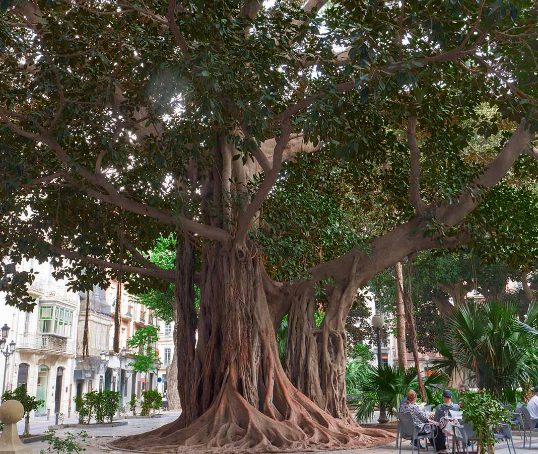 Los Ficus Centenarios de Alicante